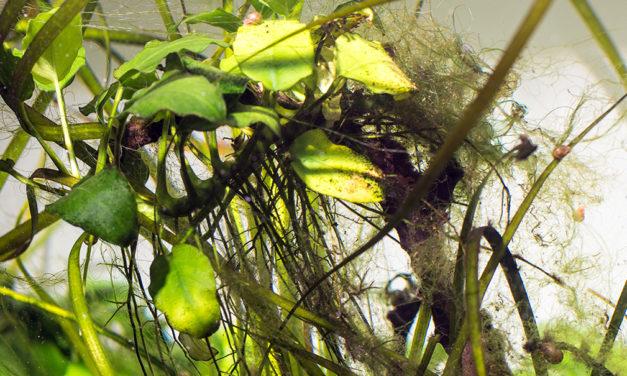 Algen im Aquarium
