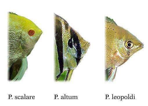 Pterophyllum-Arten