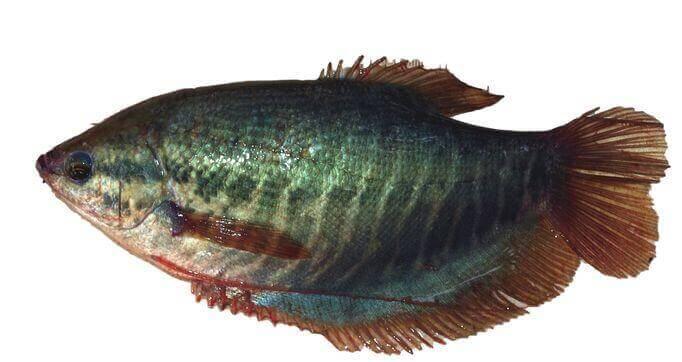 Schaufelfadenfisch